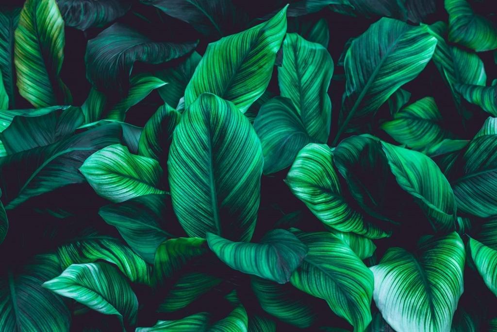 Grüne Blätter der Einblatt-Pflanze